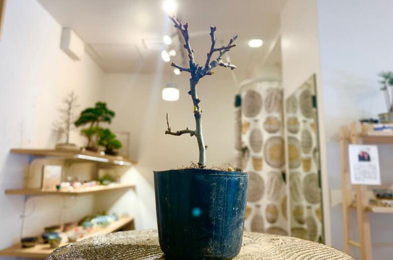 真柏の苗木