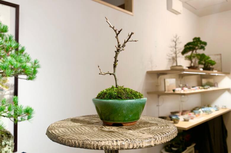 完成した盆栽